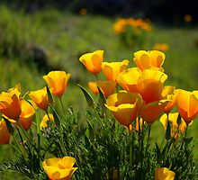 California Poppy by John Butler
