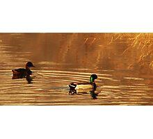 Mallard Drake & Hen - Golden Hour Photographic Print