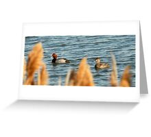 Redhead Drake & Hen - Utah Waterfowl Greeting Card