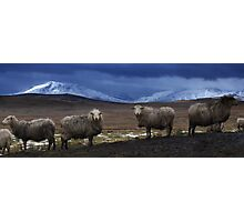 Sheep at Llyn Aled Photographic Print