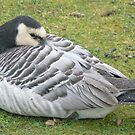 A Barnacle Goose by AARDVARK