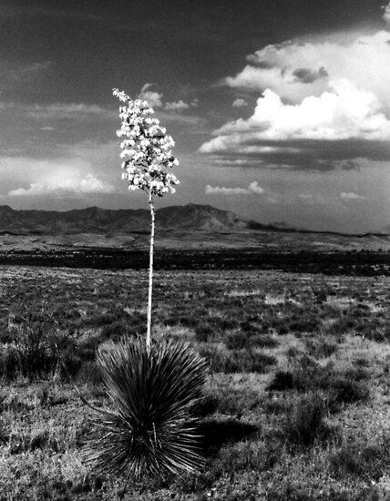 Lone Cactus by Harlan Mayor