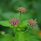 Lantana Three by Scott Mitchell