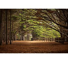 Old Cypress Grove Photographic Print