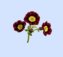 Primula Auricula - Red by ipgphotography