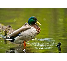 Proud As A ......Duck Photographic Print