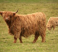 Scottish Highland cow and her calf by Linda More