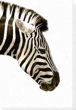 zebra black & white by melmac