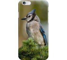 Blue Jay in Spruce Tree - Ottawa, Ontario iPhone Case/Skin