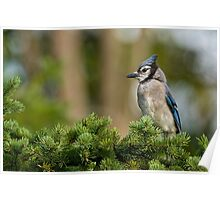 Blue Jay in Spruce Tree - Ottawa, Ontario Poster