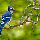 Blue Jay - Ottawa, Ontario by Michael Cummings