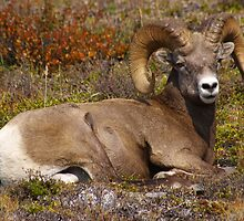 Rocky Mountain Sheep F by Rick Olson