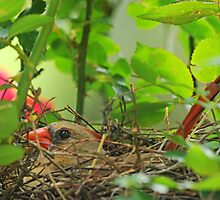 Mrs. Redbird on the Nest by Bonnie T.  Barry