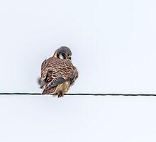 Kestrel Falcon by Thomas Young