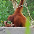 Orang Utan A by Rick Olson