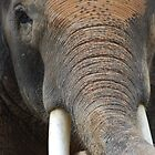 Asian Elephant B by Rick Olson