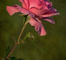 Full Blown Pink Rose with Textured Green Background by Gerda Grice