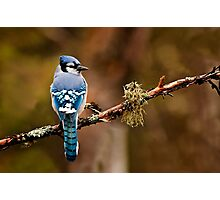 Blue Jay On Branch Photographic Print