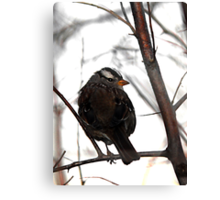 White-Crowned Sparrow at Dusk Canvas Print