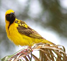 WERE YOU TALKING TO ME? (SOUTHERN) MASKED WEAVER - Ploceus velatus by Magaret Meintjes