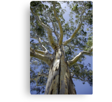 Eucalypt I - Tall Timber series Canvas Print