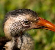RED-BILLED HORNBILL - Tockus erythrorhynchus by Magaret Meintjes