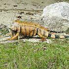 122514 iguana by pcfyi
