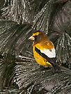 Evening Grosbeak On Pine by Michael Cummings