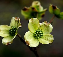 New Dogwood Blossoms by Jonicool
