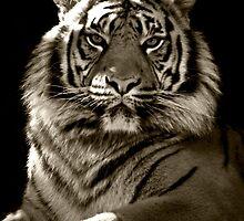 Tiger Portrait B&W by rosswoodphoto