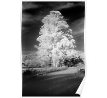 big tree little sky.......daniland Poster
