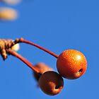 Orange Berries 1 by sydlow