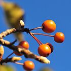 Orange Berries 2 by sydlow