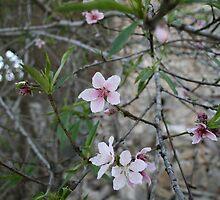 Peach Tree Blossom by Cheyenne