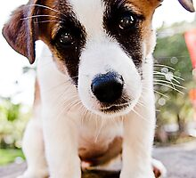 Little Jack Russell Puppy by Maggiebee