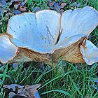 Clitocybe geotropa by John Thurgood