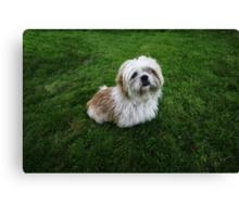 Cute Shih Tzu in the grass Canvas Print