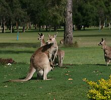 Kangaroos by minniemanx