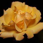 Yellow Rose by KJREAY
