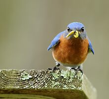 Daddy Bluebird bringing home supper by Bonnie T.  Barry