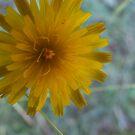 Beautiful Dandelion by MissA