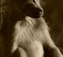 Chacma baboon portrait by amjaywed