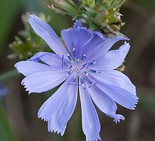 Chicory by John Wright