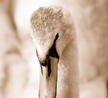Close-up of a swan by Matt Sillence