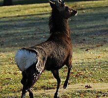 Deer Hop by Karen Goad