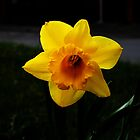 Daffodils by RebeccaS