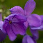 Purple Flower by DavidBerry