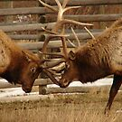 Elk Fight 3 by Melissa  Hintz