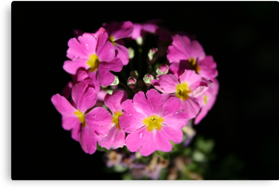 Pink Primula by Erland Howden
