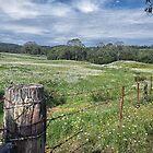 The Daisy Fields of Dorrigo by Clare Colins